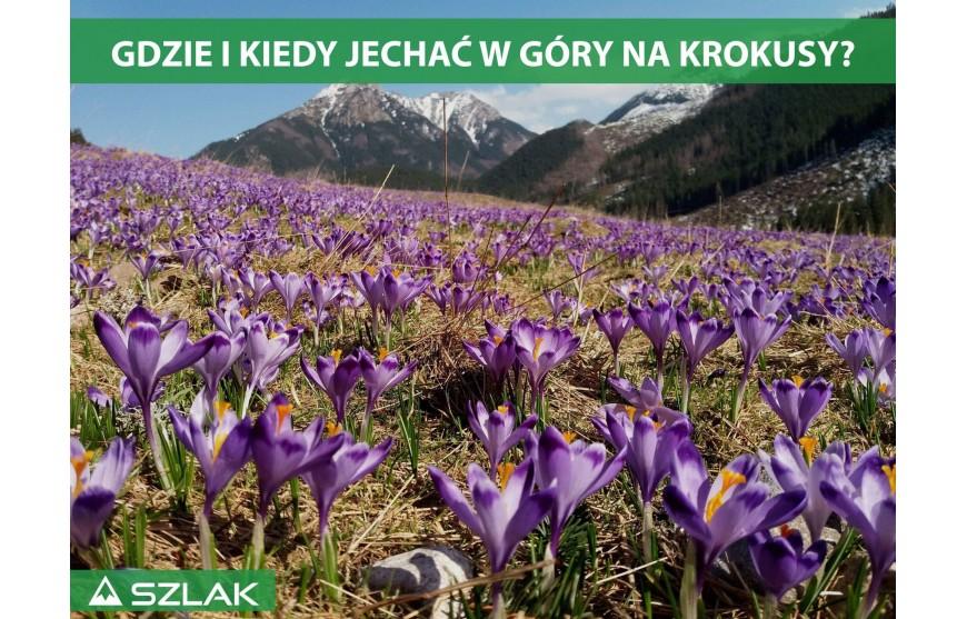 Fioletowy zwiastun wiosny, czyli gdzie i kiedy jechać w góry na krokusy